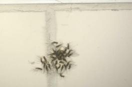 Monique vindt eikenprocessierupsen mét eitjes in haar badkamer: 'Ik stond helemaal te griezel
