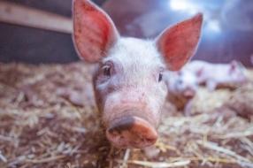 Varkensgeluk deel 2: varkens gaan keurig naar het toilet